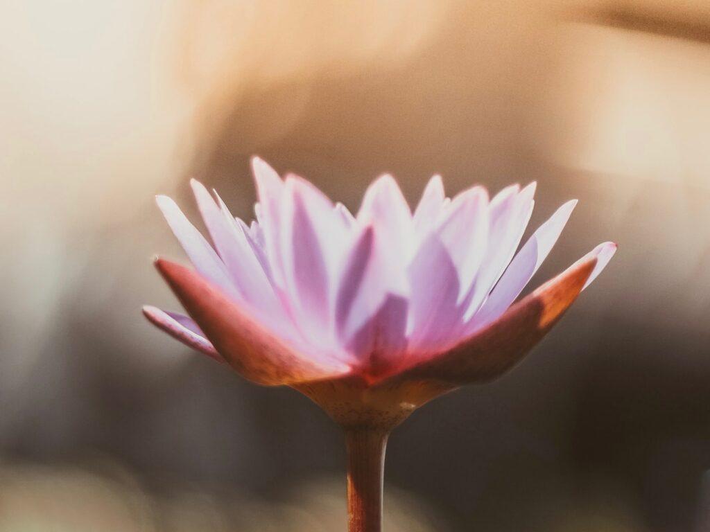 Herzzentriert Lotus 1 1024x768